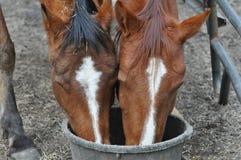 Voedende Paarden Royalty-vrije Stock Afbeeldingen