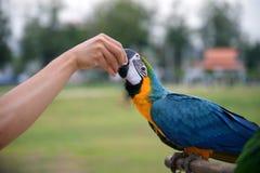 Voedende papegaai van de hand: Close-up stock foto's