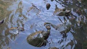 Voedende schildpadden in tempelvijver stock footage