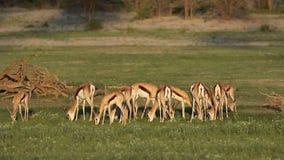 Voedende springbokantilopen stock videobeelden