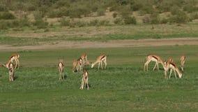 Voedende springbokantilopen - Kalahari stock video