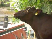 Voedende stier in Cambridge hoofddetail Stock Afbeeldingen