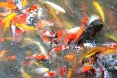 Voedende vissen. stock afbeelding