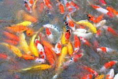 Voedende vissen. royalty-vrije stock foto