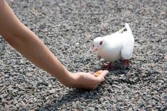 Voedende witte duif Stock Foto