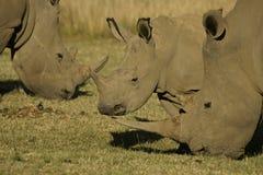 3 voedende Witte Rinoceros Royalty-vrije Stock Afbeelding