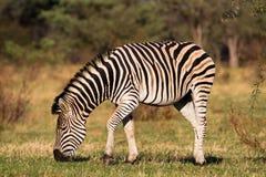 Voedende zebra Royalty-vrije Stock Afbeelding
