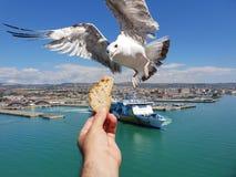 Voedende zeemeeuw in Civitavecchia, Italië g L stock fotografie