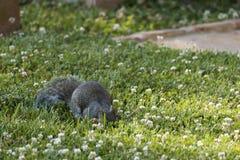 Voederende Eekhoorn stock fotografie