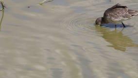 Voederende grutto's met zwarte staart in de Reserve van Le Teich Bird, Frankrijk stock video