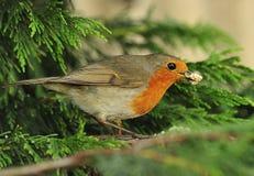 Voedsel dat Robin (rubecula Erithacus) draagt Royalty-vrije Stock Afbeeldingen