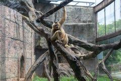 Voedsel-Gibbon-Hylobatidae Stock Foto