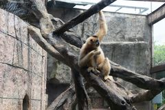 Voedsel-Gibbon-Hylobatidae Stock Foto's
