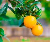 Voedsel Mandarin de boom, sluit omhoog Stock Fotografie