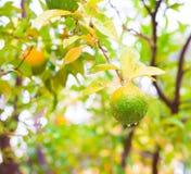 Voedsel Mandarin de boom, sluit omhoog Royalty-vrije Stock Foto's