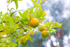 Voedsel Mandarin de boom, sluit omhoog Royalty-vrije Stock Afbeelding