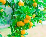Voedsel Mandarin de boom, sluit omhoog Royalty-vrije Stock Fotografie