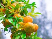 Voedsel Mandarin de boom, sluit omhoog Stock Foto