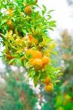 Voedsel Mandarin de boom, sluit omhoog Stock Afbeelding