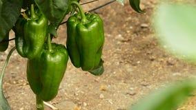 Voedsel van het peper het groene fruit in tak van installaties in serre stock footage