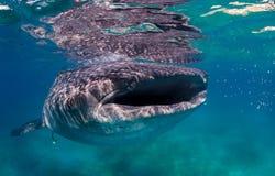 Voer van een het grote walvishaai op kleine vissen dichtbij de oppervlakte royalty-vrije stock afbeeldingen