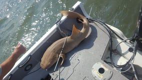 5 voet verpleegstershaai gevangen boot visserij stock fotografie