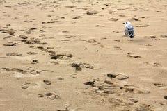 Voetafdrukken en zeemeeuw op het zandige strand op de kust van de Zwarte Zee in Obzor, Bulgarije Stock Afbeelding