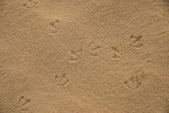 Voetafdrukken van Australische Ibisvogels op nat strandzand Stock Foto
