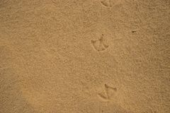 voetafdrukken van Ibisvogels op nat strandzand Stock Afbeelding