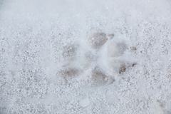 Voetdruk van een hond of een wolf op de witte sneeuw stock afbeeldingen