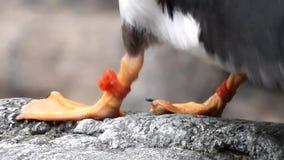 Voeten en Klauwen van Vogel stock video