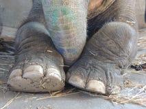 Voeten van een Indische olifant Royalty-vrije Stock Afbeeldingen