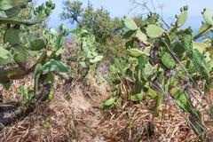 Voetpad door cactusgebied bij La Palma, Canarische Eilanden Stock Afbeeldingen