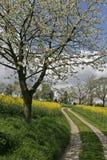 Voetpad met verkrachtingsgebied en kersenboom Royalty-vrije Stock Afbeeldingen