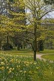 Voetpad tussen Gele narcissen Stock Afbeelding