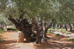 Voetpad tussen oude olijven Stock Fotografie