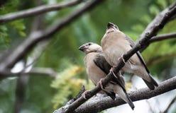 Vogel, aard, het wild, twee kleine vogels op tak, zijn zij Si stock foto
