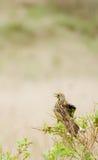 Vogel in Afrika Lizenzfreies Stockbild