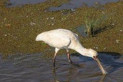Vogel, Afrikaanse spoonbill royalty-vrije stock afbeelding