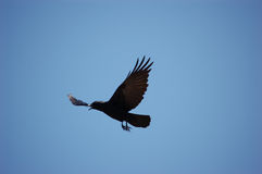 Vogel - als die Krähe fliegt Lizenzfreie Stockbilder