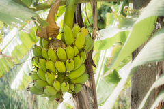 Vogel auf Bananenstaude Stockfotografie