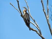 Vogel auf dem Baum, Australasian Darter Stockfoto