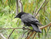 Vogel auf dem Baum, australischer Rabe Lizenzfreies Stockbild
