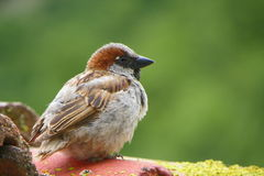 Vogel auf dem Dach Stockbilder