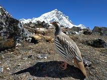 Vogel auf dem Hintergrund des Hochgebirges Ansicht des Berges Nuptse Auf dem Weg zu Everest-Klettern lizenzfreie stockfotos