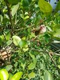 Vogel auf dem Limettenbaum Lizenzfreie Stockbilder