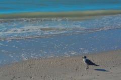Vogel auf dem sandigen Strand vom Golf von Mexiko, Florida lizenzfreies stockbild
