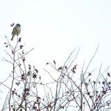 Vogel auf dem wilden Rosenbusch Stockfotografie