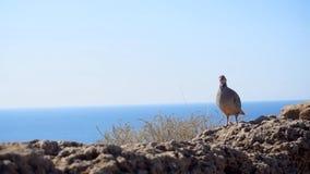 Vogel auf der felsigen Küste stock video footage