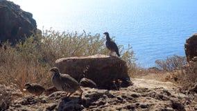 Vogel auf der felsigen Küste stock video
